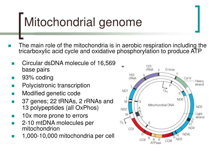 Mitochondrial genome