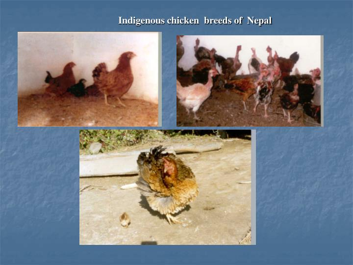 Indigenous chicken  breeds of  Nepal