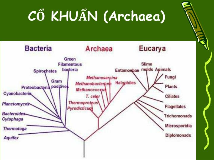 CỔ KHUẨN (Archaea)