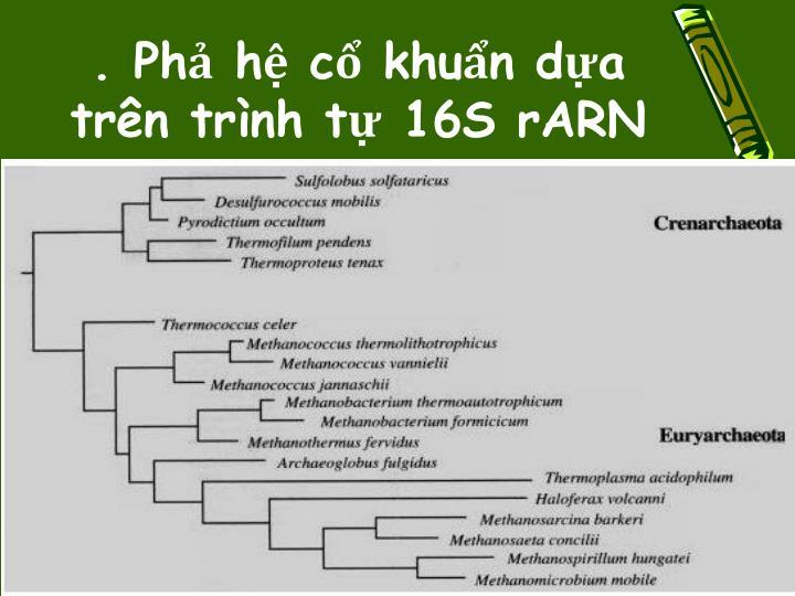 . Phả hệ cổ khuẩn dựa trên trình tự 16S rARN