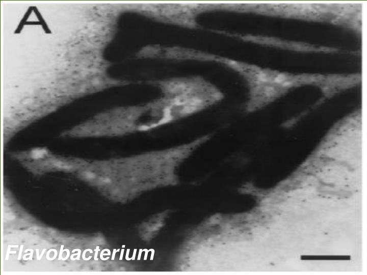 Flavobacterium
