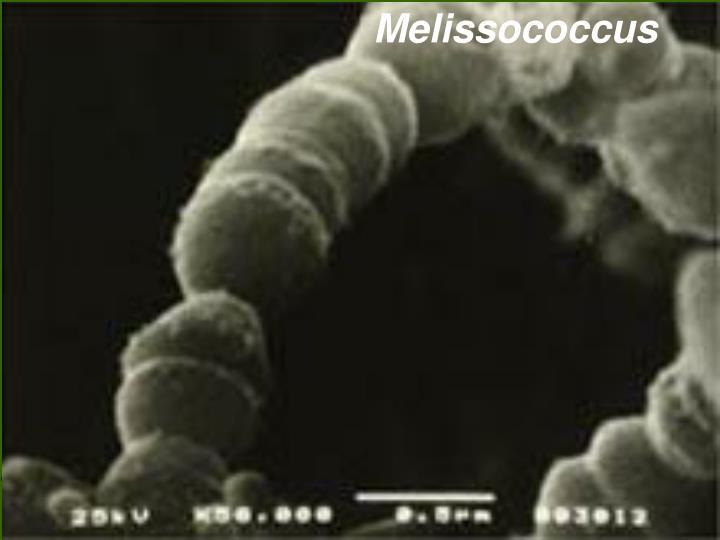 Melissococcus