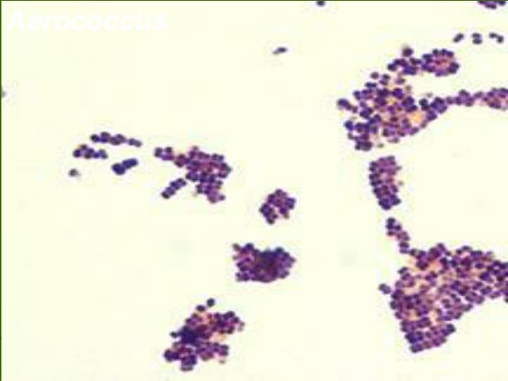 Aerococcus