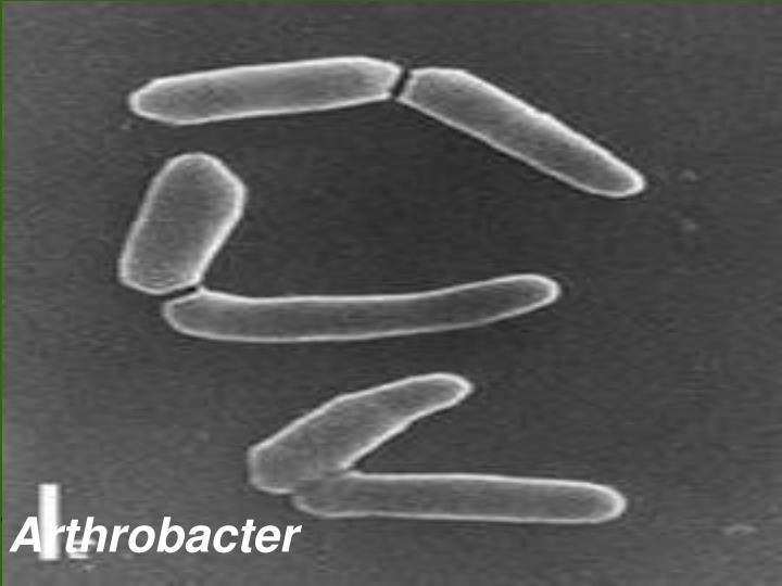Arthrobacter