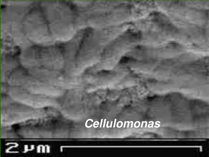 Cellulomonas