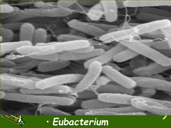 Eubacterium