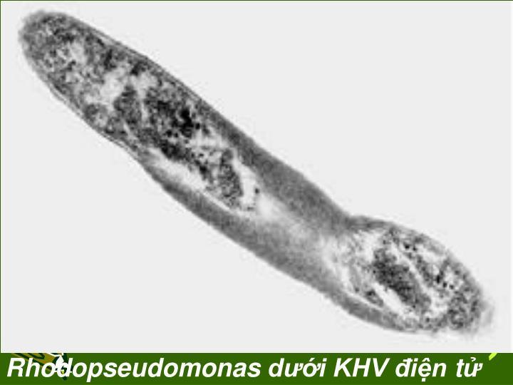 Rhodopseudomonas