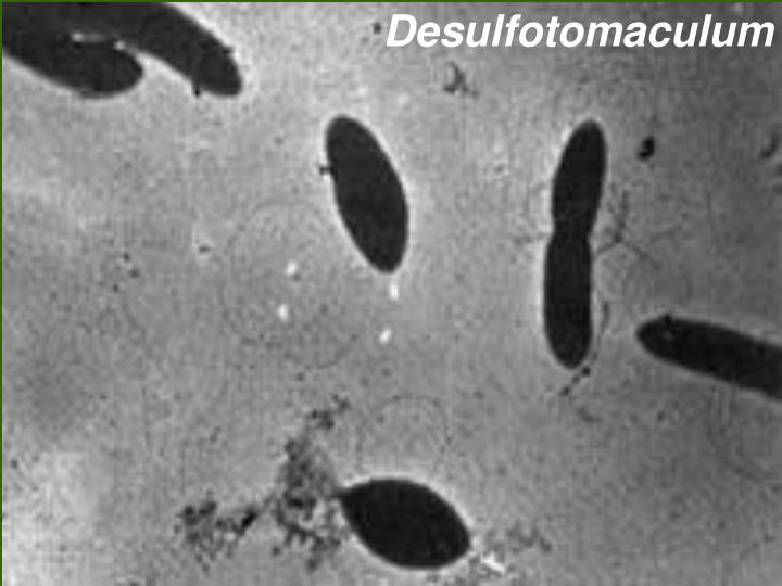 Desulfotomaculum