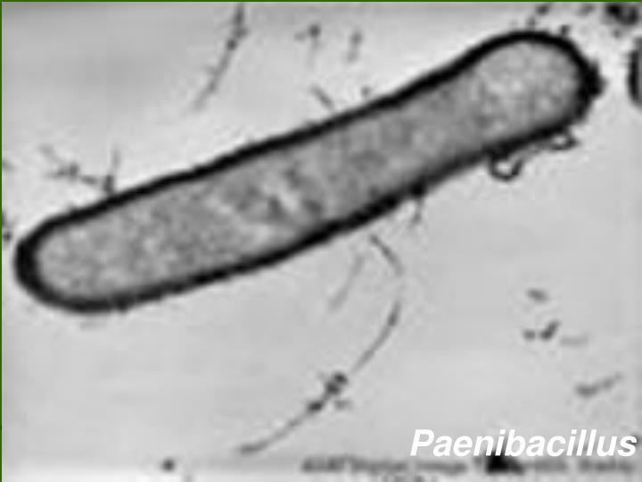 Paenibacillus