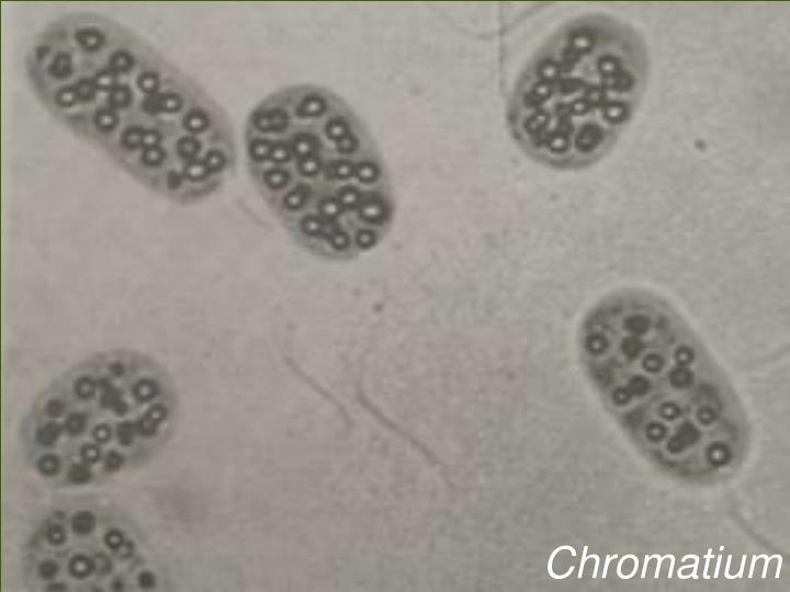 Chromatium