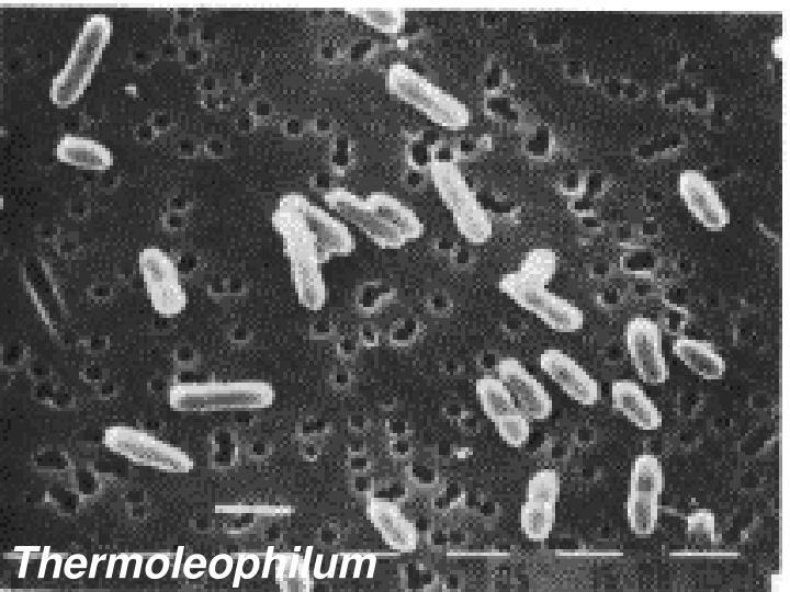 Thermoleophilum