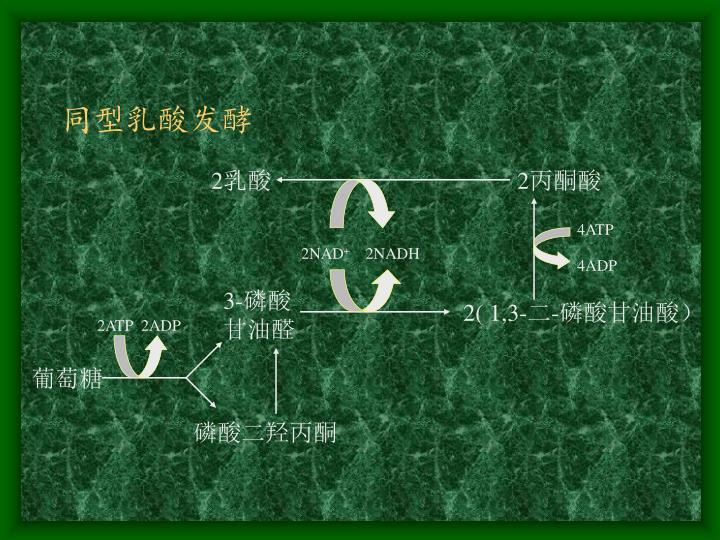 同型乳酸发酵