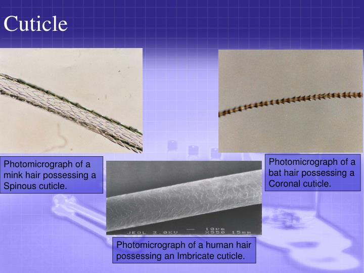 Cuticle