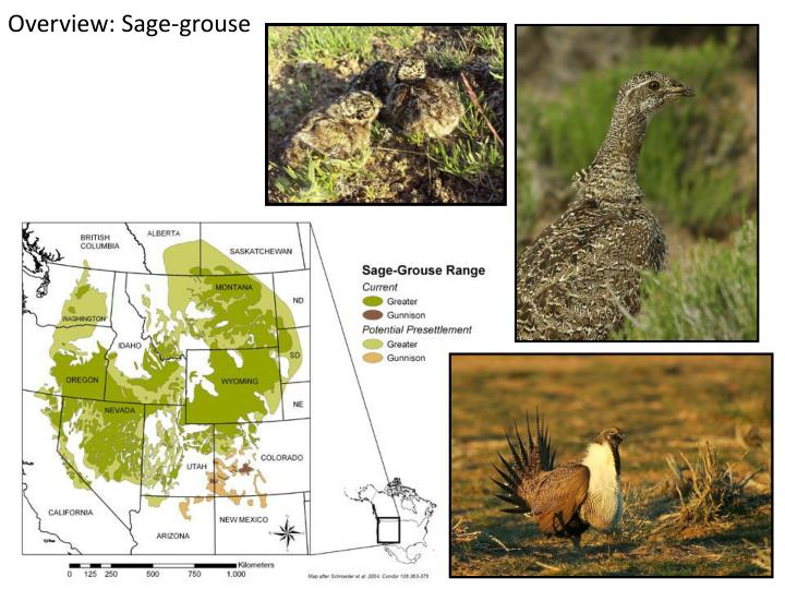 Overview sage grouse