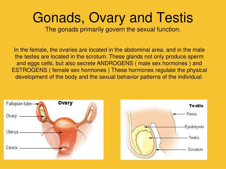 Gonads, Ovary and Testis