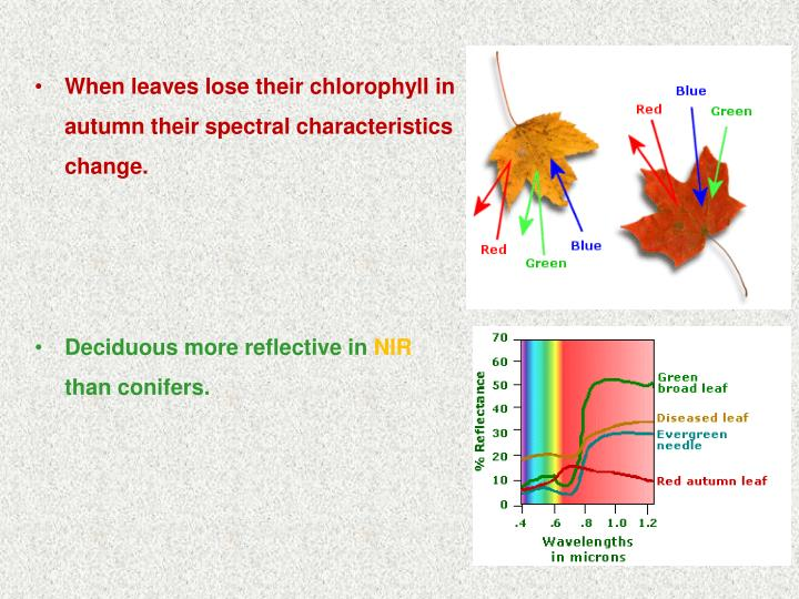 When leaves lose their chlorophyll in autumn their spectral characteristics change.