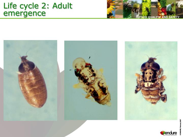 Life cycle 2: Adult emergence
