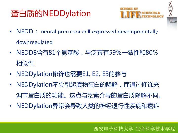 蛋白质的NEDDylation