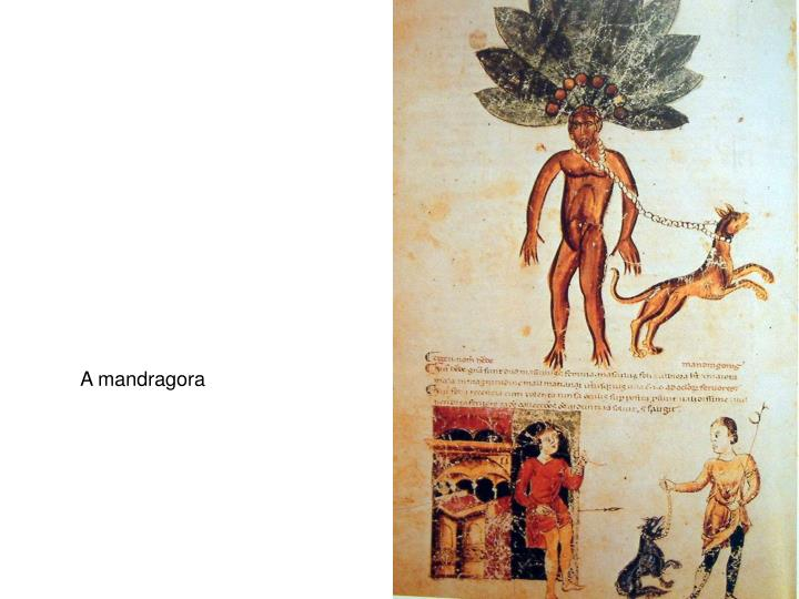 A mandragora