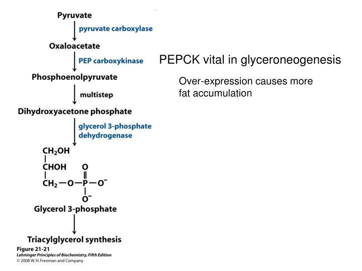 PEPCK vital in glyceroneogenesis