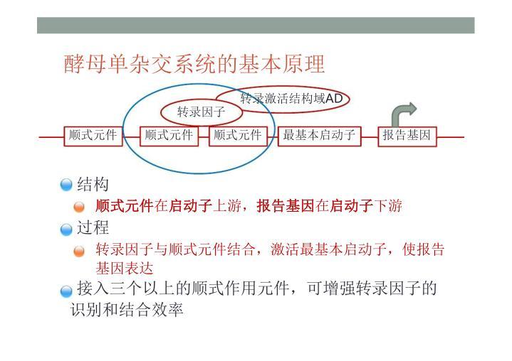 酵母单杂交系统的基本原理