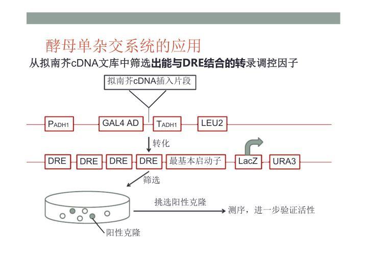 酵母单杂交系统的应用