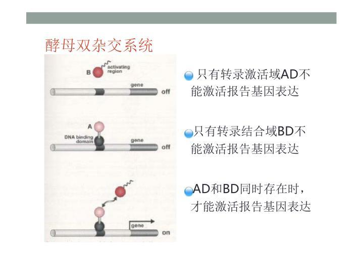酵母双杂交系统