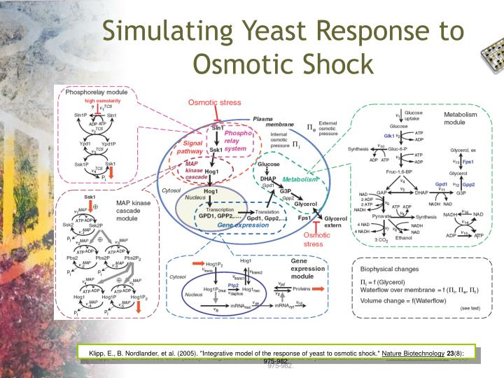 Simulating Yeast Response to Osmotic Shock
