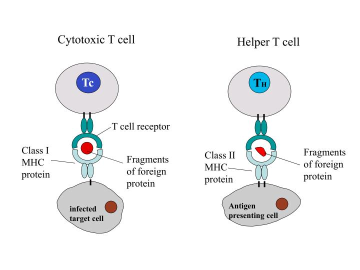 Cytotoxic T cell