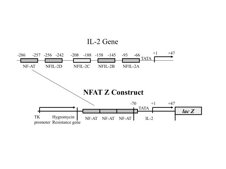 IL-2 Gene