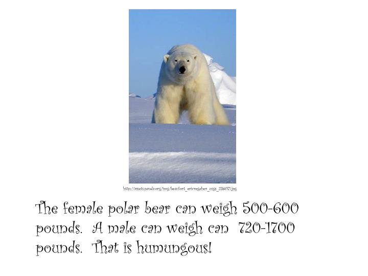 The female polar bear can weigh 500-600 pounds.  A male can weigh can  720-1700 pounds.  That is humungous!