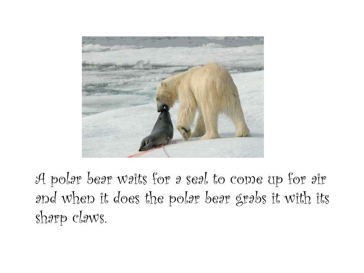 A polar bear waits for a seal to come up for air and when it does the polar bear grabs it with its sharp claws.