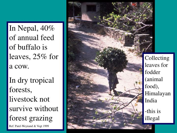 In Nepal, 40%  of annual feed of buffalo is leaves, 25% for a cow.
