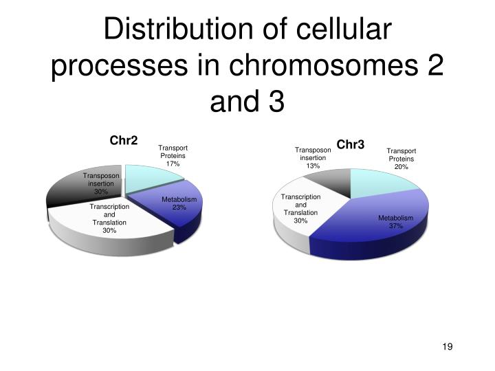 Distribution of cellular processes in chromosomes 2 and 3