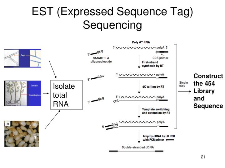 EST (Expressed Sequence Tag) Sequencing