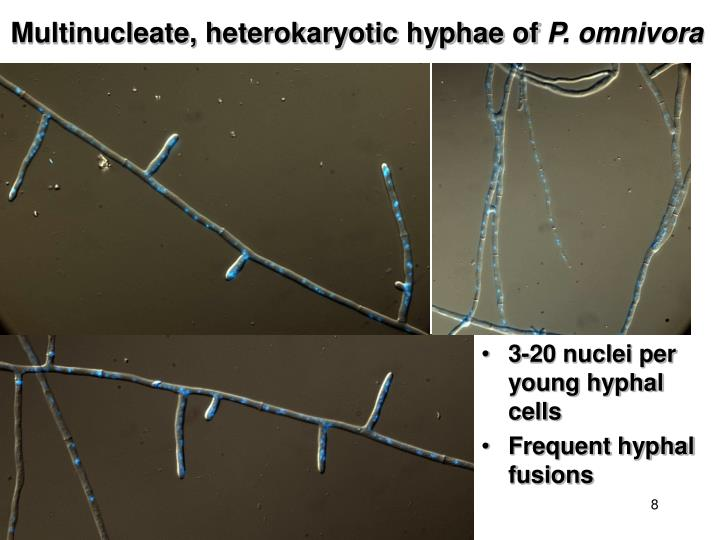 Multinucleate, heterokaryotic hyphae of