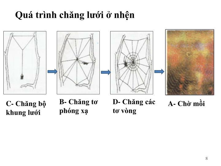 Quá trình chăng lưới ở nhện