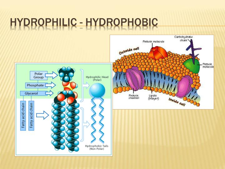 Hydrophilic - Hydrophobic