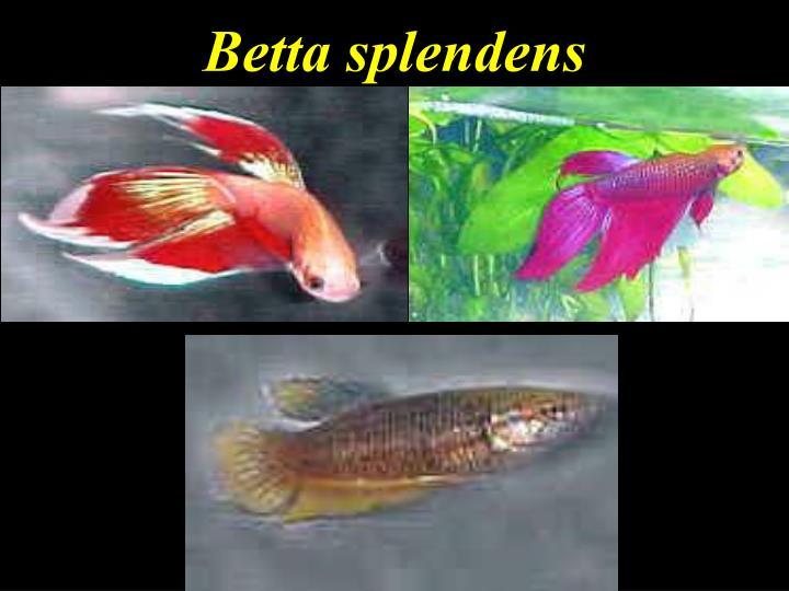 Betta splendens