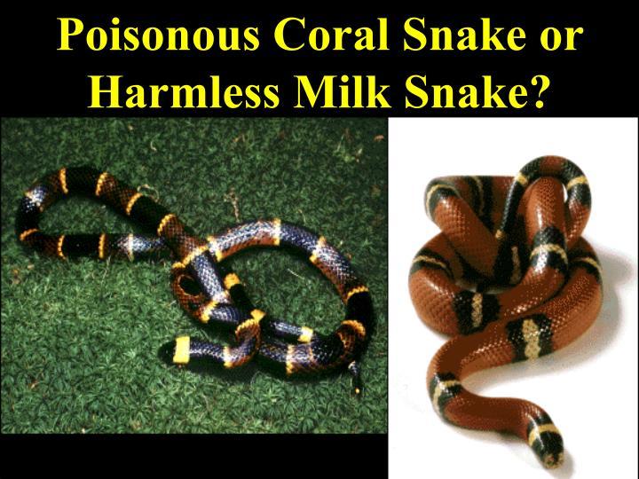 Poisonous Coral Snake or Harmless Milk Snake?
