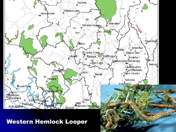 Western Hemlock Looper