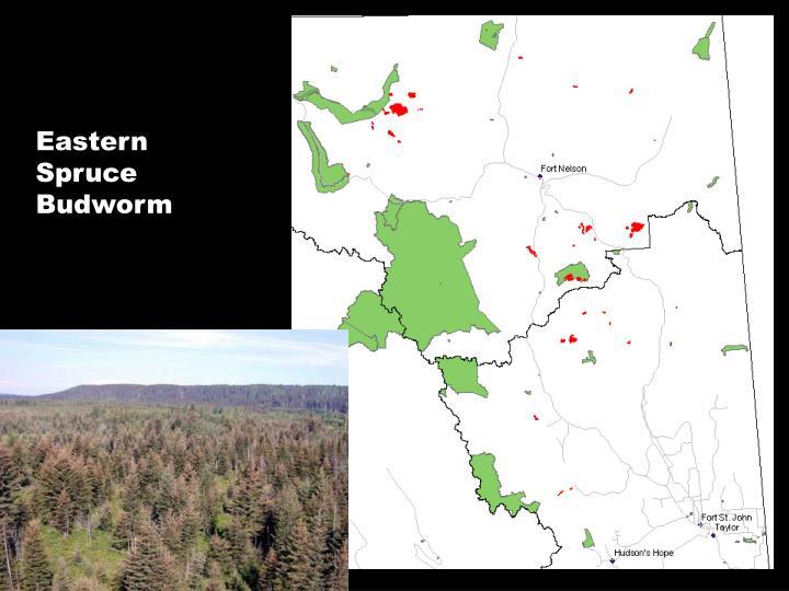 Eastern Spruce Budworm