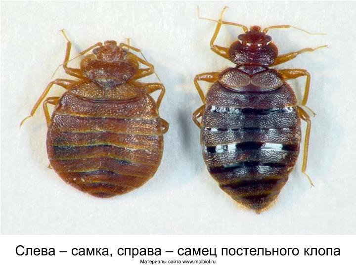 Слева – самка, справа – самец постельного клопа