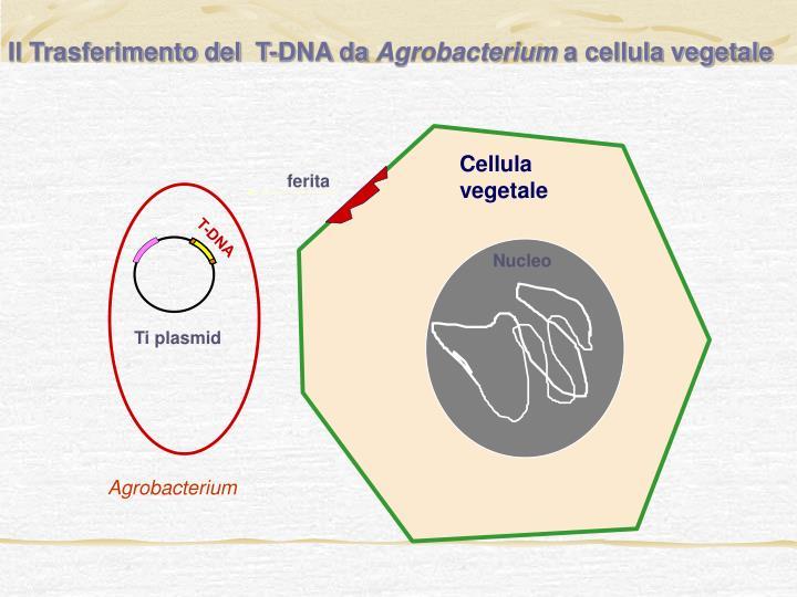 Il Trasferimento del  T-DNA da