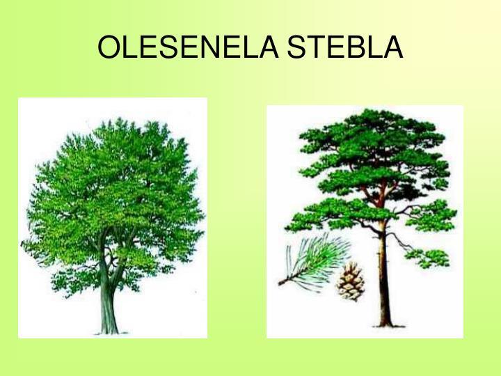OLESENELA STEBLA