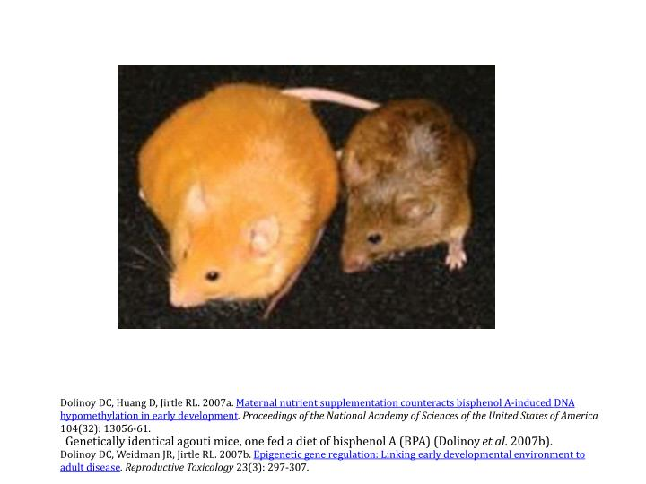Genetically identical agouti mice, one fed a diet of bisphenol A (BPA) (Dolinoy