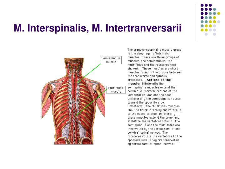 M. Interspinalis, M. Intertranversarii