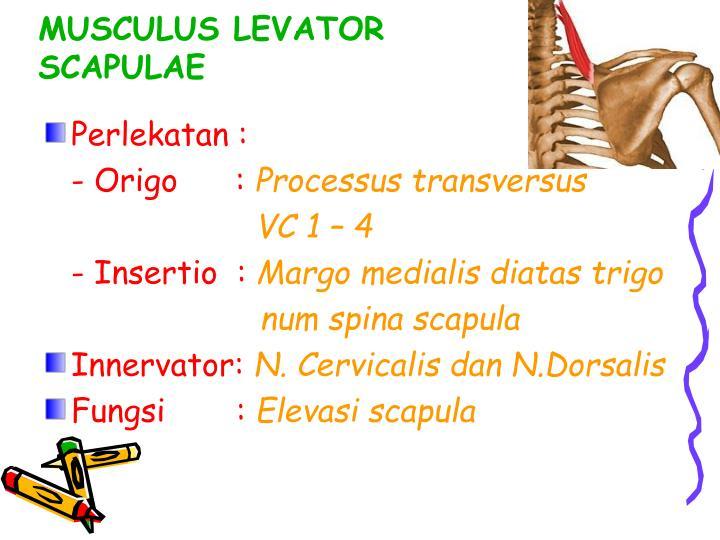 MUSCULUS LEVATOR SCAPULAE