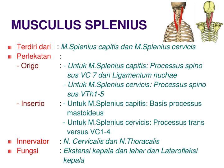 MUSCULUS SPLENIUS