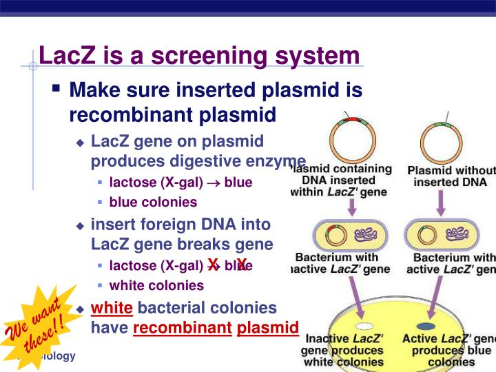 LacZ is a screening system